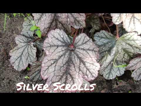 Гейхера сорт silver Scrolls в июне