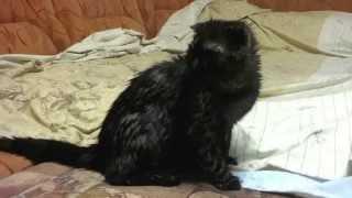 Мокрый шотландский вислоухий котенок