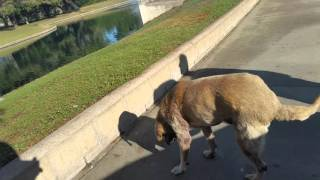 Dogs enjoying weather motebello golf Ryan Swain fr