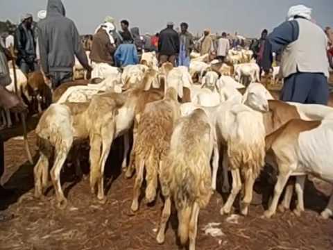 Eritrea  Asmara  Livestock market  Mercado de animales  Goats and cows  Cabras y vacas  2016