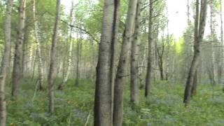 Весенний лес кормит. Выживание.(Какие растения можно есть и небольшой обзор редких видов растений. Сайт охота и рыбалка Сибири http://ohotarybalki.ru/, 2015-05-17T07:04:17.000Z)