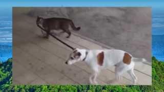 Сенсация - кошка ведет собаку в дом на поводке!