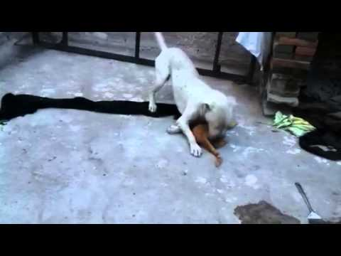 pitbull ataca salvajemente a gato