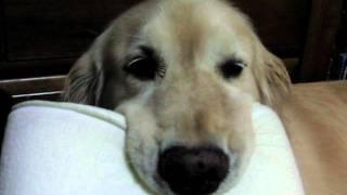 大きな口がたまらない♪大好きな低反発枕でくつろぐゴールデン