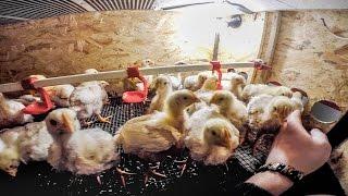 Брудер для цыплят, перепелов своими руками ВИДЕО на 500 циплят - ZOLOTYERUKI(Брудер для цыплят своим руками, подойдет для бройлеров, перепелов, несушки. В чертеже все размеры подбирал..., 2015-03-05T12:39:21.000Z)