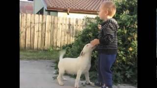 Bull Terrier Male Puppy