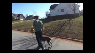 Prince Crocker Walks By Barking Lunging Dogs U Tube
