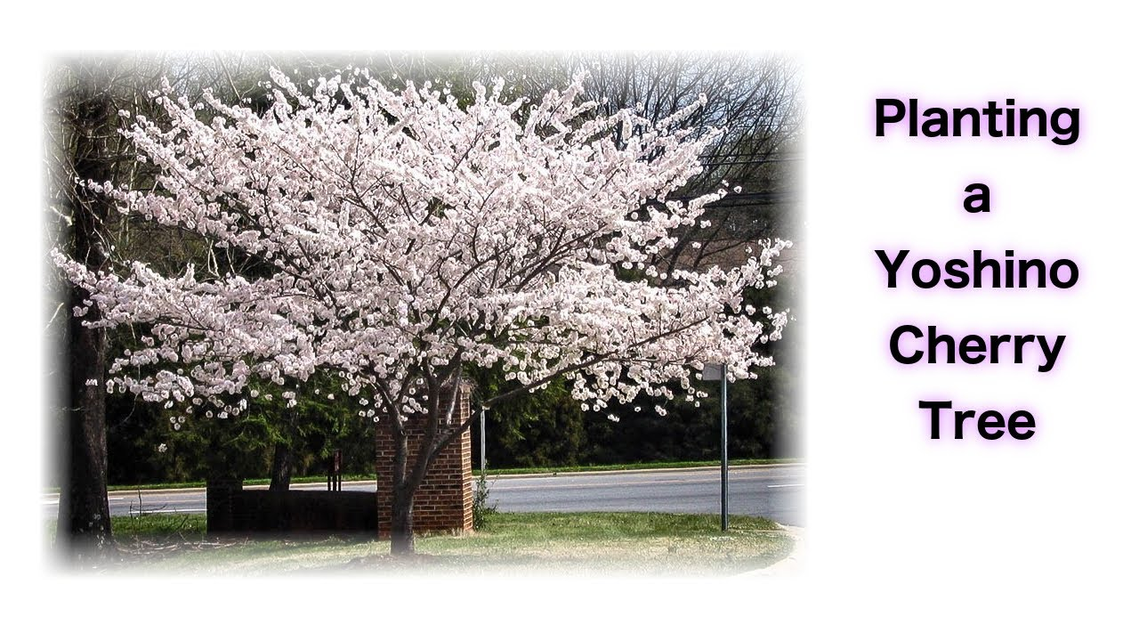 Planting A Yoshino Cherry Tree Youtube