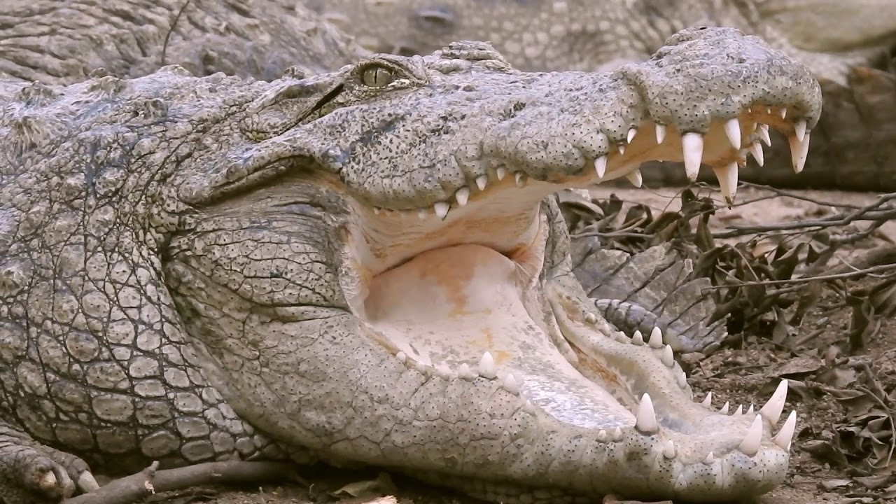 Crocodile Breathing With Mouth Open | Free Background Video Stock ...