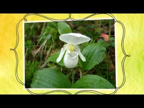 Венерин башмачок капельный (Cypripedium guttatum)