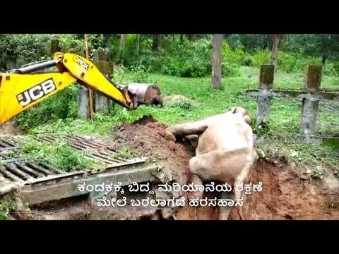 Elephant rescue   ಕಂದಕಕ್ಕೆ ಬಿದ್ದ ಆನೆಗೆ ಜೆಸಿಬಿ ನೆರವು; ಮೇಲೆ ಬರುತ್ತಲೇ ರೋಷ ತೋರಿದ ಮರಿಯಾನೆ