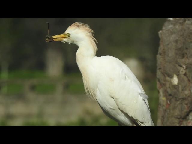 Garcillas bueyeras en plena caza / Cattle egrets hunting