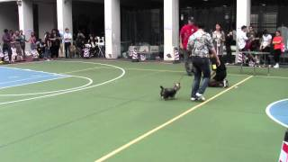 20131103 China Kennel Club Ring 2 Yorkshire Terrier 6 9