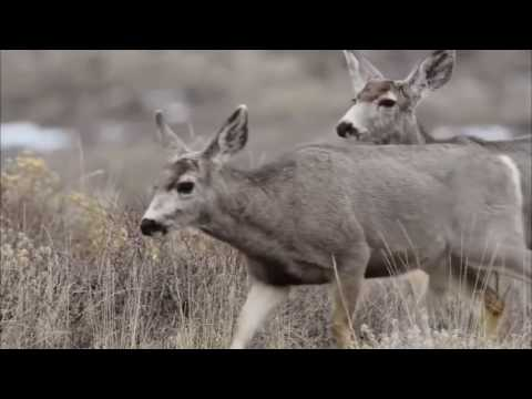 THE GREATER SAGE GROUSE ★ Documentary Channel 2017 HD