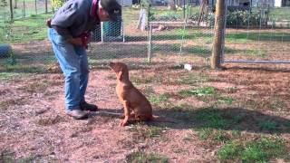 Hungarian Vizsla Puppy Training