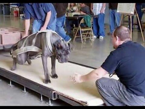 Strongest dogs in the world weight pulling neapolitan mastiff pit bull American bulldog