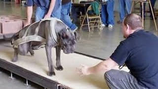 Strongest dogs in the world weight pulling American bully mastiff pit bull American bulldog