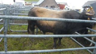 20140807 Brion Aubrac male