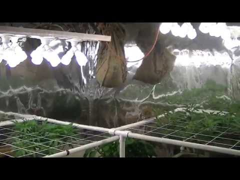 Organic CFL indoor Medical Marijuana Grow Part 3