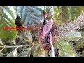 Gacor Wow Anakan Burung Cendet Ini Sudah  Mp4