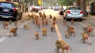 Mischievous Monkeys Take Over Government Buildings in India