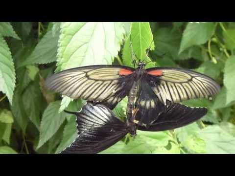 Butterflies at Earnley Garden - Blue Morpho - Svölufiðrildi í ástarleik - Fiðrildagarður