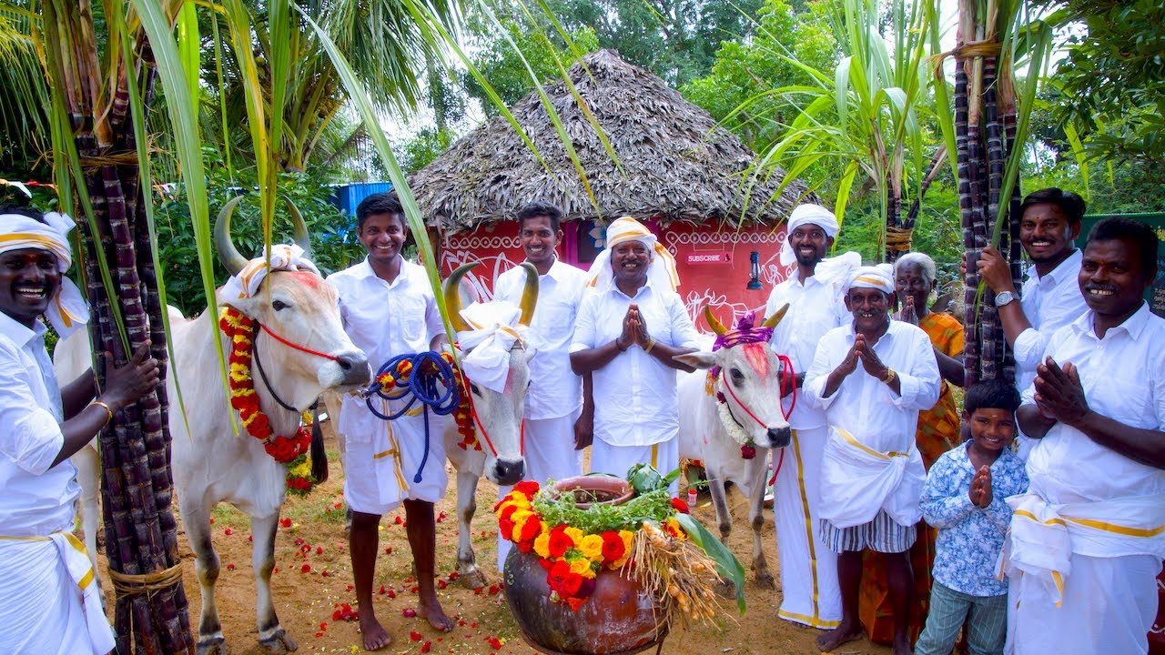 PONGAL CELEBRATION | Mattu Pongal | Grand Tamil Special Festival Celebrate in Village by farmers