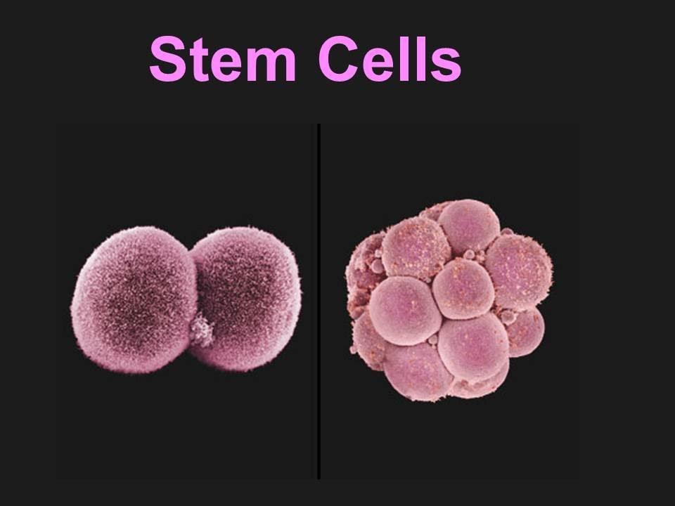 Stem cells powerpoint template |authorstream.