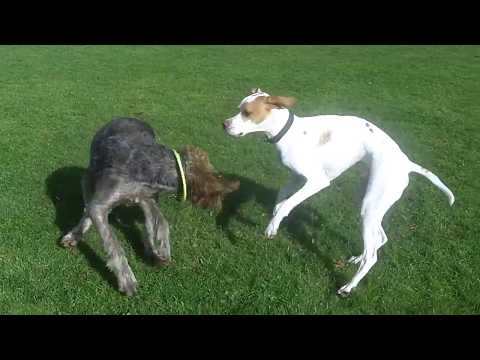 German Wire Haired Pointer Suggs fooling around with English Pointer Gizmo.