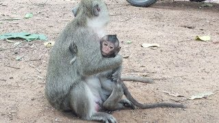 Wow ! What Is The Matter Make Poor Baby Lori Hug Monkey Dolly Like That ? Pigtail Monkeys 234