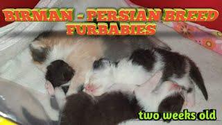 Birman Persian Breed Furbabies (two weeks old)