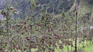 मनाङमा स्याउ टिप्ने चटारो   Manang Apple Farm