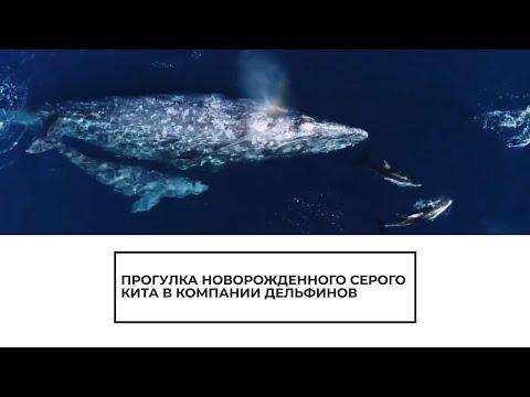 Прогулка новорожденного серого кита в компании дельфинов