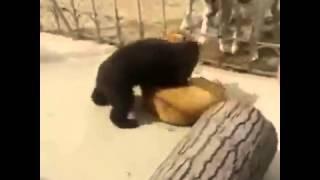 Медвежонок против Собаки борьба