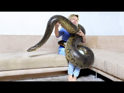 GIANT ANACONDA!...Meet Anaconda Named Medusa