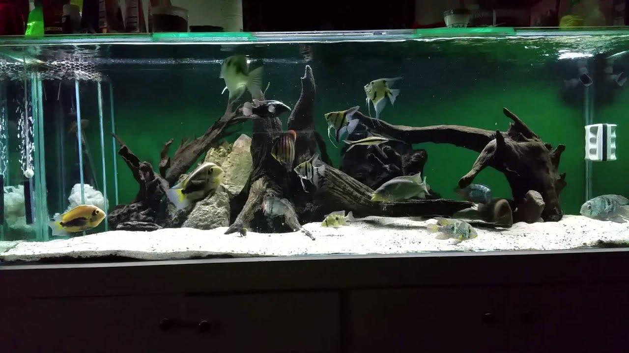 American cichlid and archer fish feeding 9-11-2014 - YouTube