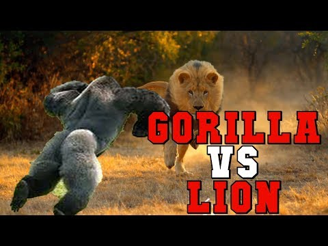 Gorilla Vs Lion Who Would Win In A Fight?
