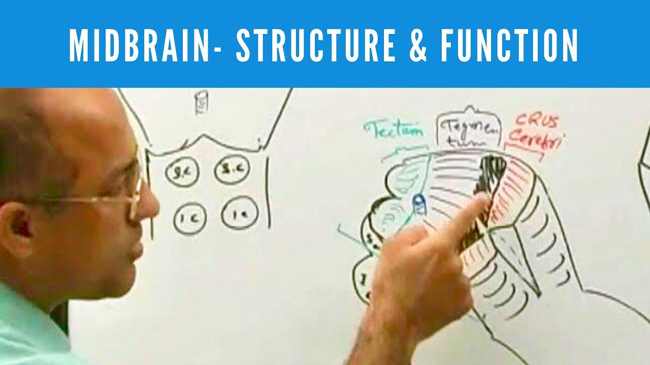 Midbrain - Structure & Function - Neuroanatomy - YouTube