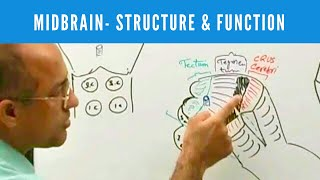 Midbrain - Structure & Function - Neuroanatomy