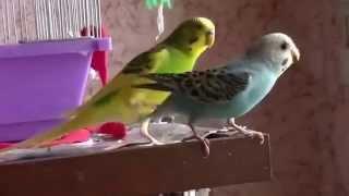 Видео о животных  веселые попугаи