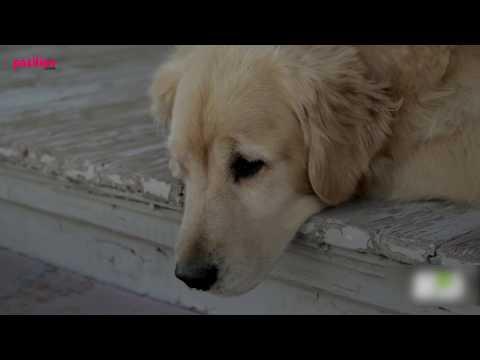 Köpekler Kaç Yıl Yaşar? Köpeklerin Ortalama Ömrü