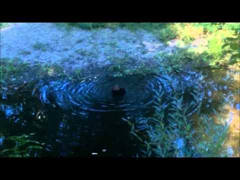 merlin bathing in santa rosa creek