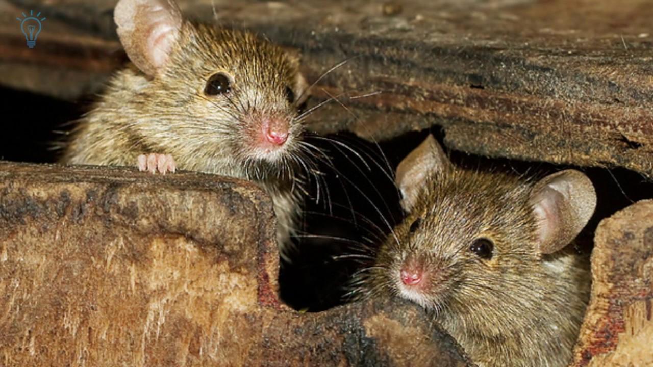 Kết quả hình ảnh cho đàn chuột