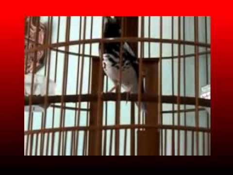 kicau-mania-|-suara-burung-anis-merah-azzuro-|-teler-doyong-gacor-asli
