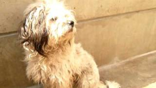 Shy Gentle Poodle/terrier Mix Of Some Adorable Sort  Rescued!