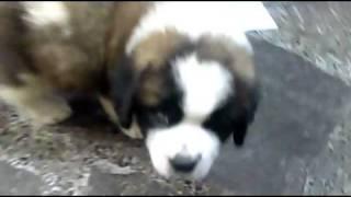愛犬セントバーナード 名前はヒナです。生後3カ月の時。