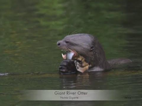 Manu National Park -  Wild Watch Peru   Guide photos