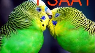 Papağan Ve Muhabbet Kuşu Konuşturma Sesi Ses Kaydı Cici Kuş 1 SAAT