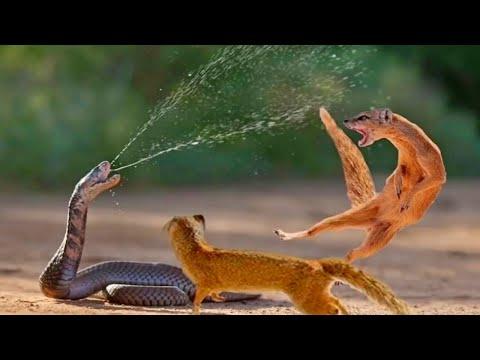 Версус! ЗМЕЯ ПРОТИВ мангуста, варана, медоеда. Змея в деле!