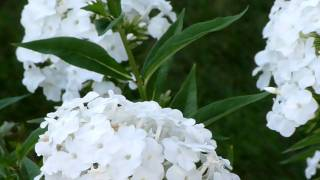Moth Feeding On Flowers 3